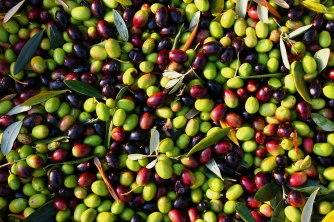 picked-olives-ii